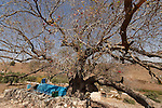 Israel, the Upper Galilee. Atlantic Pistachio (Pistacia Atlantica) tree by the tomb of Rabbi Tarfon in Kadita