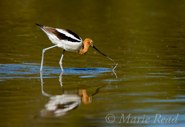 American Avocet (Recurvirostra americana), adult foraging, Orange County, California, USA