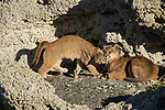 Mountain Lion (Puma concolor) six month old female cub nuzzling mother in shelter of calcium deposits, Sarmiento Lake, Torres del Paine National Park, Patagonia, Chile