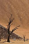 Parc national du Namib Naukluft. Dunes de Sossusvlei. Cuvette de Deadvlei et acacias pétrifiés..Namibie Afrique