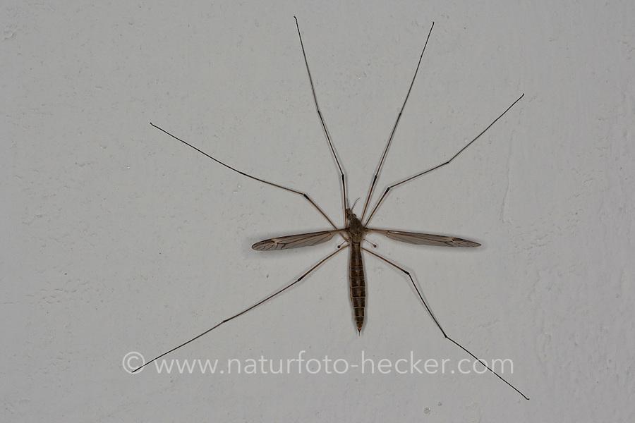 Schnake an Zimmerwand, Weibchen, Tipula lateralis, crane fly, crane-fly, Schnaken, Tipulidae, crane flies, crane-flies, daddy-long-legs
