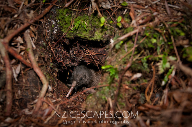 Rowi - Okarito kiwi in its burrow - Westland National Park, West Coast, New Zealand