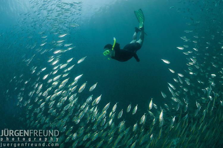 Snorkeler swimming through a school of Oxeye Scads, Selar boops in the house reef of Miniloc Island Resort.