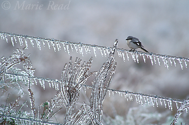 Loggerhead Shrike (Lanius ludovicianus) on an ice-covered fence after an ice storm, Anahuac National Wildlife Refuge, Texas, USA.<br /> Slide # B150-23