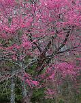 Devil's Den State Park, AR<br /> Flowering Eastern Redbud tree (Cercis canadensis)