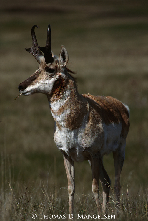 A portrait of a pronghorn antelope in Grand Teton National Park, Wyoming.