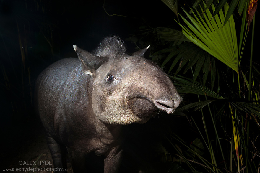 South American or Brazilian Tapir (Tapirus terrestris) at night in lowland rainforest. Manu Biosphere Reserve, Peru. November.