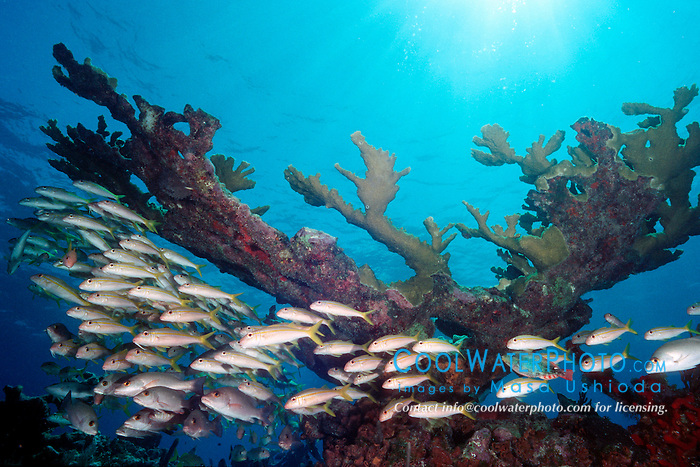 school of yellow goatfish, Mulloidichthys martinicus, and elkhorn coral, Acropora palmata, Molasses Reef, Key Largo, Florida Keys National Marine Sanctuary, USA, Atlantic Ocean