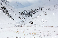 Dall sheep forage for food in the snow in atigun pass of the Brooks Range mountains, Arctic, Alaska.