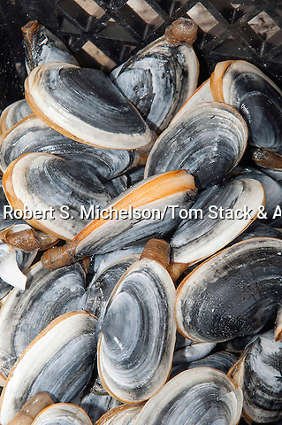 Soft shell clams, or steamers in clam diggers basket, South Beach, Chatham, Massachusetts