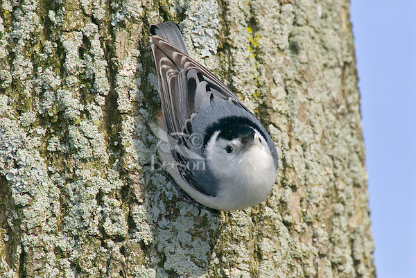 White-breasted Nuthatch (Sitta carolinensis). Climbs down, up and around tree trunks searching for insects. Spring. Great Lakes Region.