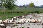 Foto: VidiPhoto<br /> <br /> OPHEUSDEN - Bij pluimveehouder Dorresteijn aan de Tolsestraat in Opheusden mochten de kippen woensdag weer naar buiten. Veel zin hadden ze daar nog niet in, nadat ze sinds 12 februari binnen hebben gezeten. De ophokplicht die in februari was ingesteld, nadat vogelgriep was aangetroffen bij een Duits kalkoenenbedrijf dichtbij de grens met Groningen, is opgeheven. Doordat een groot deel van de watervogels die in Nederland overwinteren inmiddels vertrokken is, zijn er minder wilde vogels die kippen op boerderijen zouden kunnen besmetten. De maatregel gold voor commerciële pluimveehouderijen met minstens 250 dieren. Eierboeren met het Beter-Leven-Keurmerk zijn verplicht de dieren iedere dag naar buiten te sturen. Voor de gezondheid van de dieren zelf is het volgens eigenaar Teus Dorresteijn beter dat ze binnen blijven, zeker bij nat en koud weer.  De maatschap Dorresteijn-Van Dam heeft 40.000 legkippen.