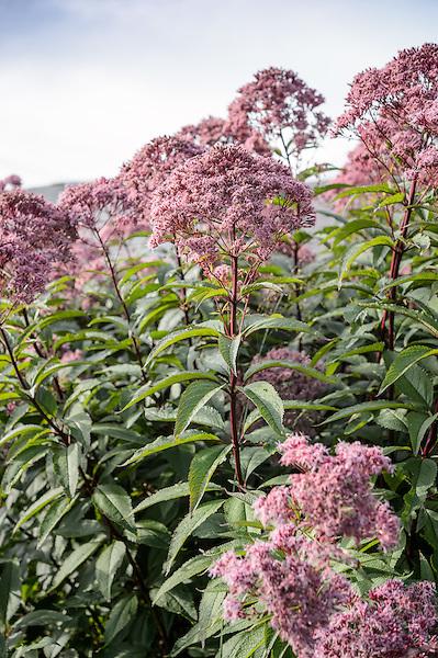 Eupatorium Atropurpureum 'orchard dean'