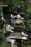 Dreizehenmöwe, brütend in der Steilwand eines Vogelfelsen, Brutkolonie, Dreizehen-Möwe, Möwe, Dreizehenmöve, Rissa tridactyla, kittiwake