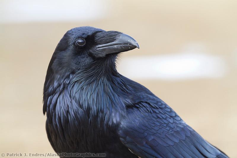 Common raven, interior Alaska.