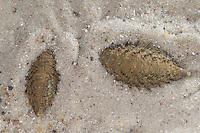Seemaus, Filzwurm, Seeraupe, Aphrodita aculeata, sea mouse, L'aphrodite de mer, souris de mer, Schuppenwürmer, Schuppenwurm