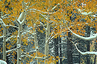 Early snowfall on aspen trees with autumn foliage, Kaibab Nation Forest at North Rim of Grand Canyon, Arizona, AGPix_0716.