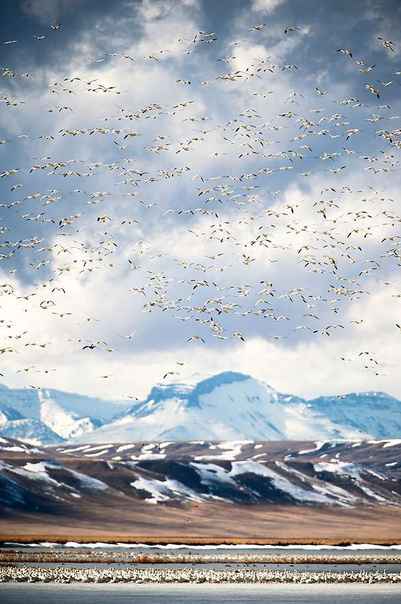 Snow geese fly above the Rocky Mountain Front at Freezeout Lake National Wildlife Refuge near Fairfield, Montana.