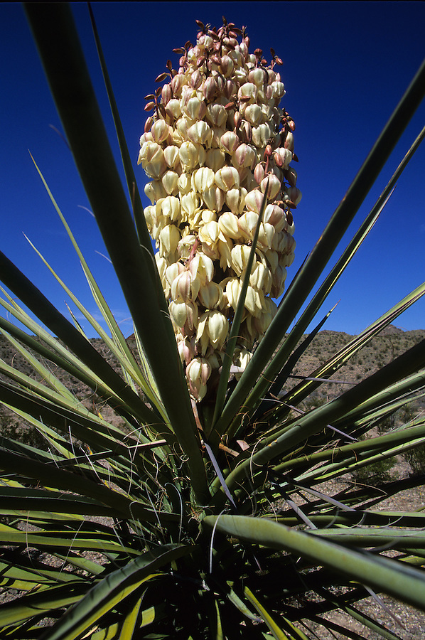 A yucca reaches full bloom in the desert of Big Bend National Park, Texas.