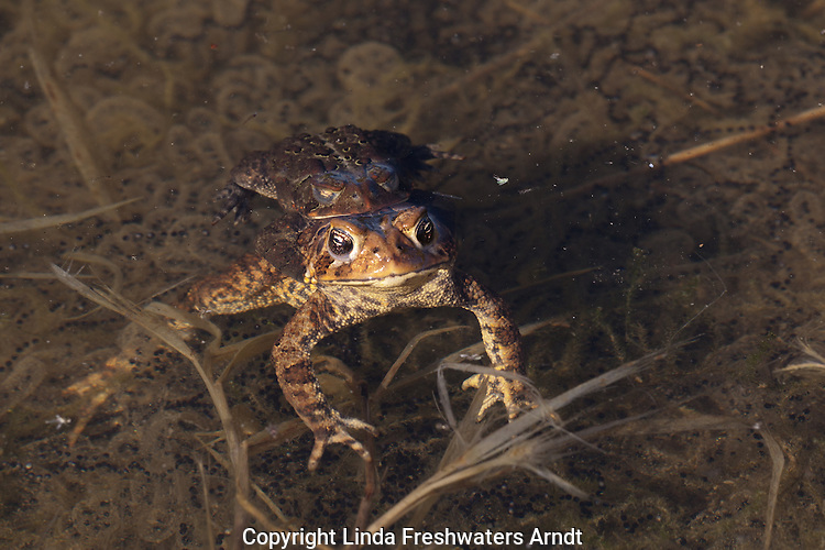 Eastern American Toads Mating