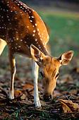 Pantanal, Mato Grosso, Brazil. Deer drinking at the riverside.