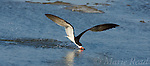 Black Skimmer (Rynchops niger), adult in breeding plumage, skimming, Bolsa Chica Ecological Reserve, California, USA<br /> Cropped to panorama format.