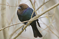 Brown-headed Cowbird perched on a branch