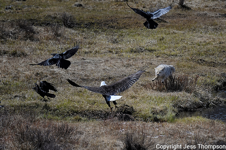 Coyote chases Bald Eagle and Ravens from Buffalo carcass, Blacktail Ponds, Yellowstone National Park