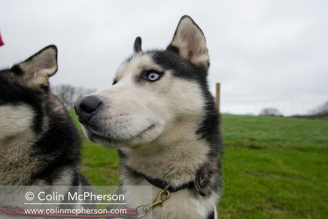 Two Siberian huskies belonging to farmer Debbie Pullen on a track near her farm at Staintondale, north Yorkshire. In September 2006, Debbie and her husband Michael set up Pesky Husky Trekking, which allows visitors to their farm the experience of being pulled on a scooter by Siberian huskies either on a purpose-built training track or a nearby disused railway line. By diversifying their farming business they were aiming to make their farm more financially viable.