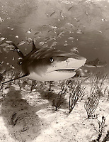 pk11452-D. Tiger Shark (Galeocerdo cuvier) and scuba diver (model released). Bahamas, Atlantic Ocean..Photo Copyright © Brandon Cole. All rights reserved worldwide.  www.brandoncole.com..This photo is NOT free. It is NOT in the public domain. This photo is a Copyrighted Work, registered with the US Copyright Office. .Rights to reproduction of photograph granted only upon payment in full of agreed upon licensing fee. Any use of this photo prior to such payment is an infringement of copyright and punishable by fines up to  $150,000 USD...Brandon Cole.MARINE PHOTOGRAPHY.http://www.brandoncole.com.email: brandoncole@msn.com.4917 N. Boeing Rd..Spokane Valley, WA  99206  USA.tel: 509-535-3489