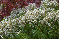 Berzelia lanuginosa (Buttonbush) white flowering shrub