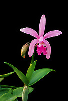 Orchid species: Cattleya intermedia