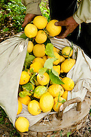 Amalfi Coast lemon 'Sfusato Amalfitano' protected with the IGP status, Amalfi, Italy