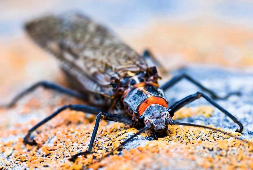 A salmonfly rests on a rock along the Yellowstone River in Yellowstone National Park.