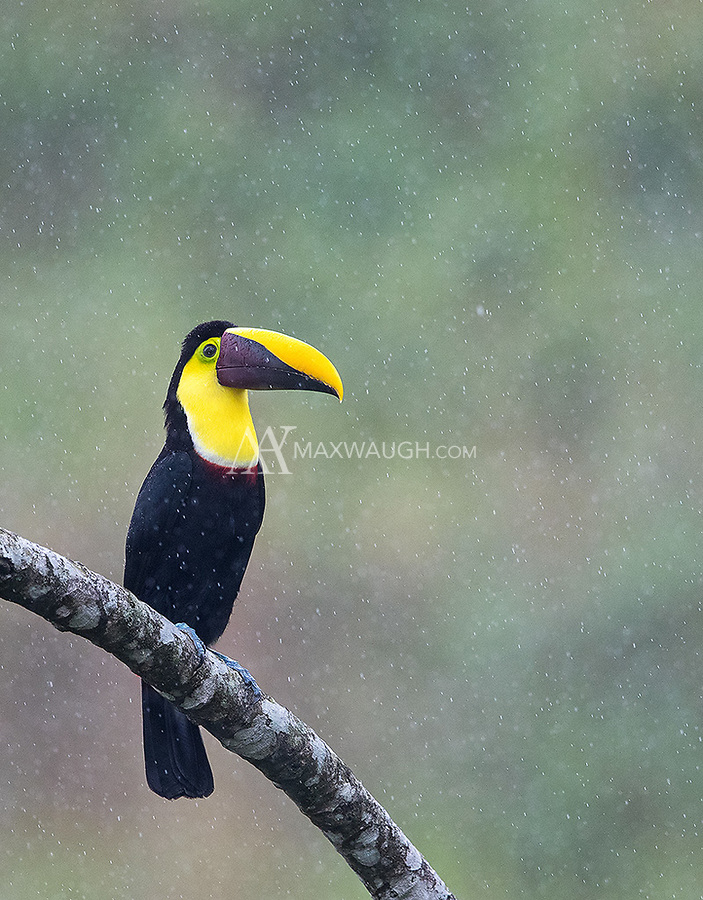 We had a small group of Costa Rica's two biggest toucans hanging out together in a rainstorm.