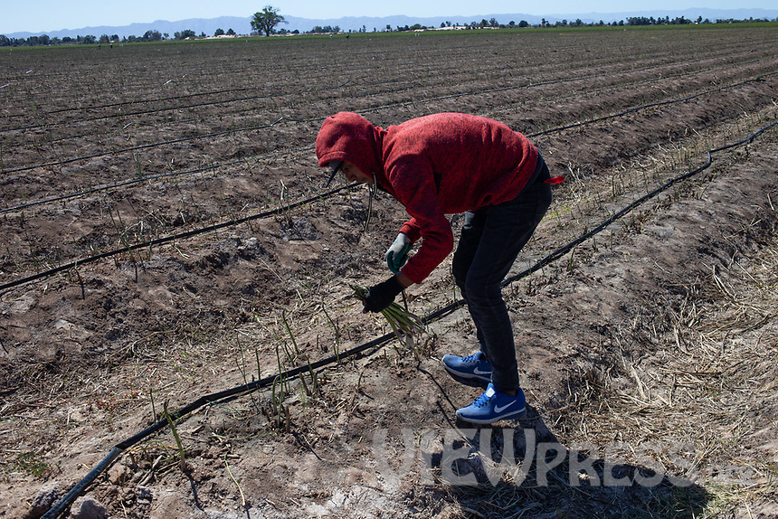 MEXICALI, MEXICO - March 14. A worker picking up asparagus. on March, 14 2019 in Mexicali, Mexico. The asparagus need less water than the alfalfa but they are sold cheaper <br /> The rivers usually end in the sea, the Colorado dies in a border. Its the only case like this in the world. There is less water in the Colorado River, hence less water in crops and areas of northern Mexico.  <br /> (Photo by Luis Boza/VIEWpress)