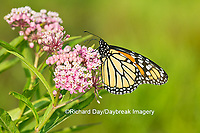 03536-05418 Monarch Butterfly (Danus plexippus) on Swamp Milkweed (Asclepias incarnata), Marion Co., IL