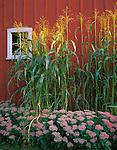 Bishop Hill State Historic Site, IL<br /> Broom corn and barn window