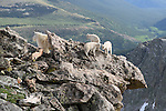 Rocky Mountain Goat with Babies on Rock Ledge