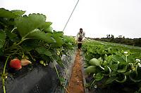 Senador Amaral_MG, Brasil...Plantacao de morangos em Senador Amaral. Na foto um agricultor colhendo as frutas...Strawberries plantation in Senador Amaral. In this photo a farm laborer cropping fruits. . .Foto: LEO DRUMOND / NITRO