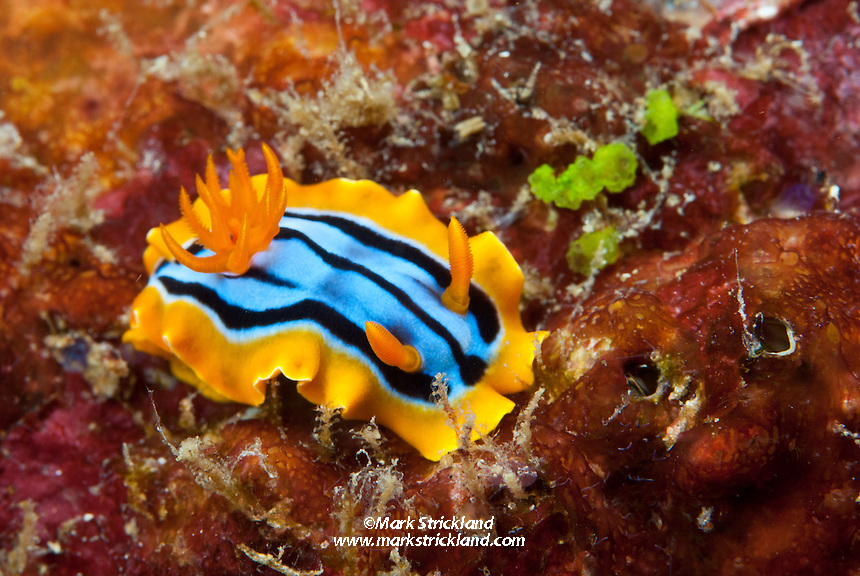 A colorful juvenile nudibranch, Chromodoris hamiltoni, browses on rocky substrate. Andaman Islands, India, Andaman Sea