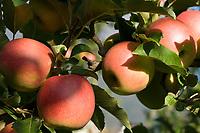 Italien, Suedtirol, bei Meran, Schenna: reife Aepfel   Italy, South Tyrol, Alto Adige, near Merano, Scena: ripe apples