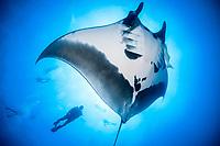 giant oceanic manta ray, Manta birostris, with remora, suckerfish, Remora sp., and scuba divers, Socorro Island, Revillagigedo Islands, Mexico, Pacific Ocean