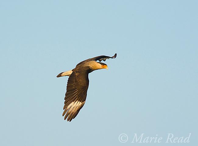 Crested Caracara (Caracara cheriway), adult in flight, Viera, Florida, USA
