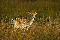 Follow deer hind, Dunham Massey, Trafford, Greater Manchester.