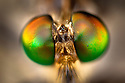 Close-up of compound eyes of Robber Fly (Asilidae family). Masoala Peninsula National Park, north east Madagascar.