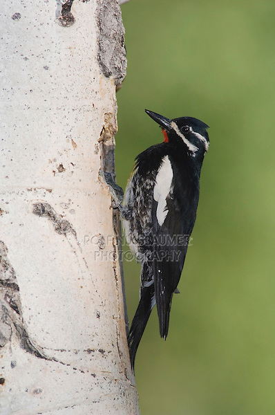 Williamson's Sapsucker,Sphyrapicus thyroideus, adult male at nesting cavity in aspen tree, Rocky Mountain National Park, Colorado, USA, June 2007