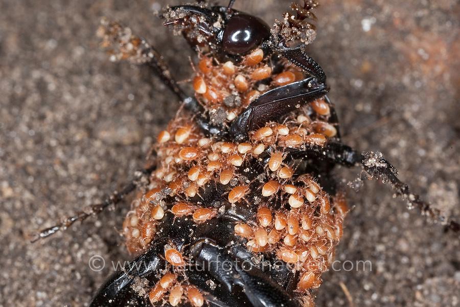 Schwarzer Totengräber, Aaskäfer, Necrophorus humator, Nicrophorus humator, sexton or black burying beetle, Black Sexton Beetle, Silphidae, large carrion beetles, carrion beetles, burying beetles, Käfer ist voller Milben, Milbe, Phoresie ist der Transport von Käfermilben, Transportparasiten, Schmarotzermilben, Schmarotzermilbe, Käfermilbe, Poecilochirus carabi, phoretic mite, parasitid mite, Parasitus coleoptratorum, Parasitus coleopterorum, Gamasus coleoptratorum, Gamasus coleopterorum