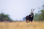 Sable Antelope (Hippotragus niger) male feeding on grass, Benfontein Nature Reserve, South Africa