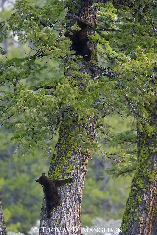 Grizzly bear cubs (grizzly 610's) descend a tree in Grand Teton National Park, Wyoming.